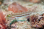 Coryphopterus punctipectophorus, Spotted goby, Veracruz, Mexico