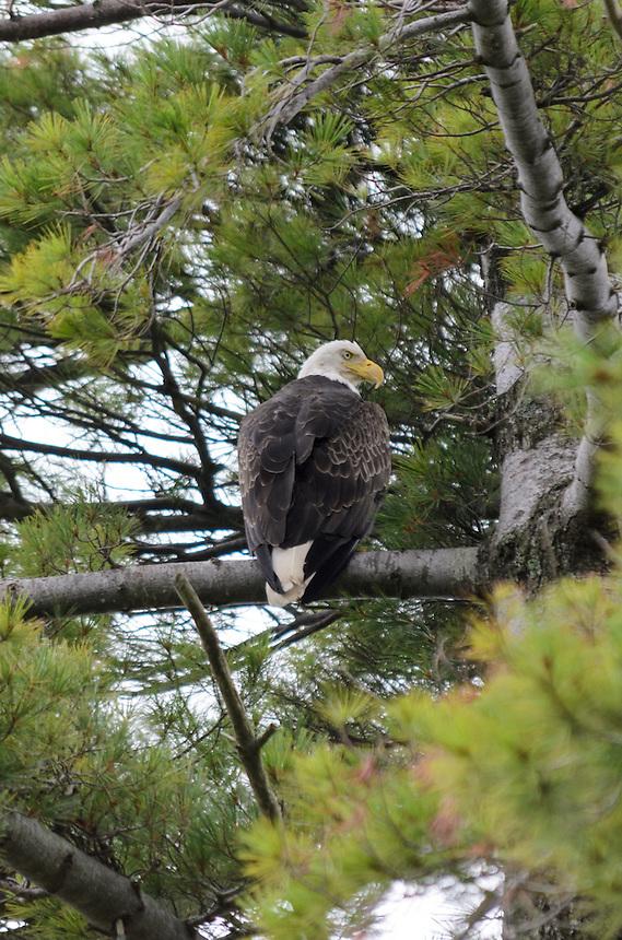 A beautiful bald eagle perched in a pine tree along the Lake Michigan shoreline. Michigan's Upper Peninsula