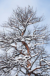 snow clings to bare branches on snag of ponderosa pine, Pinus ponderosa, with magpie perched at top, tree trunk, forest, tree, montane lifezone, Rocky Mountain National Park, Colorado, USA, winter