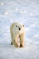 polar bear, Ursus maritimus, male waiting for freeze, Churchill, Hudson Bay, Manitoba, NOV, Canada, polar bear, Ursus maritimus