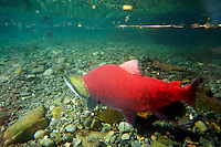 Sockeye Salmon spawning, Kenai Peninsula, Chugach National Forest, Alaska.