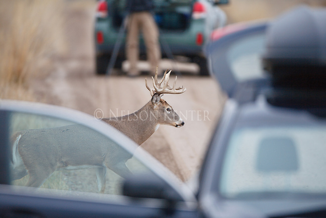 A rutting whitetail buck crossing a road between cars stopped on the road to watch