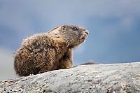 Marmot, Yellowstone National Park