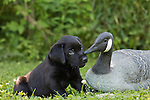 Black Labrador retriever and goose decoy