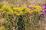 Sweet goldenrod medium shot 3 plants