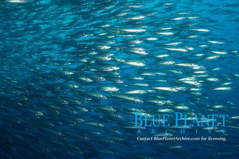 Chub Mackeral, Scomber japonicus, Guadalupe Island, Baja California, Mexico