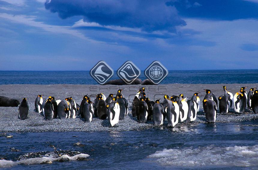 Kin Penguins<br />King Penguins and Elephant Seals.<br />Animals - Antartica<br />St. Andrews Bay / South Georgia<br />© Explorer-Images / Jay Watson