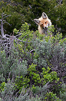 The red fox (Vulpes vulpes) either establish stable home ranges within particular areas or are itinerant with no fixed abode. They use their urine to mark their territories. Urine is also used to mark empty cache sites, as reminders not to waste time investigating them.