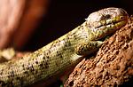 Foto: VidiPhoto<br /> <br /> VLISSINGEN – In reptielenzoo Iguana leven de meest wonderlijk reptielen en amfibieën. De meeste zijn door de douane of bij particulieren in beslag genomen. De Vlissingse reptielenopvang probeert waar mogelijk de dieren te herplaatsen in dierentuinen of weer terug te zetten in de natuur. Waar dat niet mogelijk is zorgt Iguana zelf voor opvang en zijn de dieren voor bezoekers te zien. Foto: Een Corucia zebrata, een reuzengrijpstaartskink.