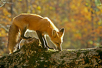 Red fox, Vulpes fulva, standing on log in autumn forest