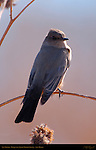 Say's Phoebe, Bosque del Apache Wildlife Refuge, New Mexico