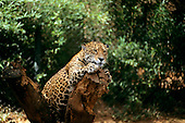 "Amazon, Brazil. Jaguar - ""Onca pintada""; Panthera onca, perched on a dead tree."
