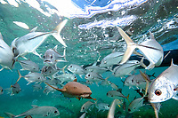 nurse shark, Ginglymostoma cirratum, and horse-eye jacks or big-eye jacks, Caranx latus, swimming in the shallows, Hol Chan, Ambergris Caye, Balize, Caribbean Sea, Atlantic Ocean