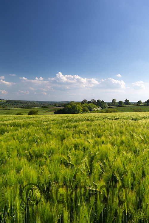 29-5-2021 Winter barley in Rutland<br /> ©Tim Scrivener Photographer 07850 303986<br />      ....Covering Agriculture In The UK....