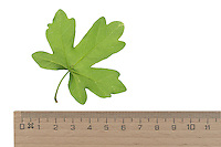 Feld-Ahorn, Feldahorn, Ahorn, Acer campestre, Field Maple, Hedge Maple, Erable champêtre. Blatt, Blätter, leaf, leaves