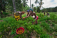 This swamp-land is managed by a group of women in their community in Mafinda, Sierra Leone. Each woman has her own plot of land but they have learned the power of working together. Each one receives training, seeds and fertilizers from a local NGO and together they grow corn, peppers and tomatoes to sell in the market.