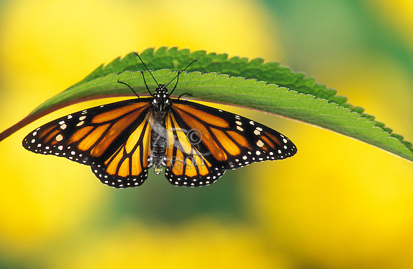 Monarch Butterfly (Danaus plexippus) drying wings on Joe-Pye Weed leaf in the final stage of its transformation shortly after emerging from chrysalis. North America.