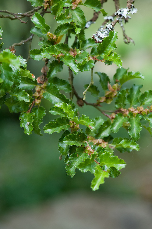 Nothofagus antarctica, mid May. Commonly known as Antarctic beech, native to southern Chile and southern Argentina.