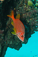 Scene of cleaning. Sabre squirrelfish or Long jawed squirrelfish, Sargocentron spiniferum, Amami-ohsima island, Kagoshima, Japan, Pacific Ocean