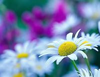 V00192M.tif   Daisies (chrysanthemum leucanthemum). Near Corvallis, Oregon