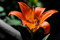Butterfly feeding on a wood lily in the Kootenai Forest in Montana. The wood lily lit up by the sun