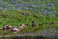 Wildflowers--lupine, paintbrush, valerian, heather, lousewort and anemone or western pasqueflower--in subalpine meadow near edge of small pond (tarn), Mount Rainier National Park, WA.  Summer.