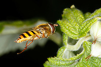 Wiesenschwebfliege, Wiesen-Schwebfliege, Schwebfliege im Flug, Epistrophe nitidicollis