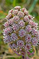 Gewöhnliche Pestwurz, Pest-Wurz, Petasites hybridus, Butterbur, Umbrella Plant