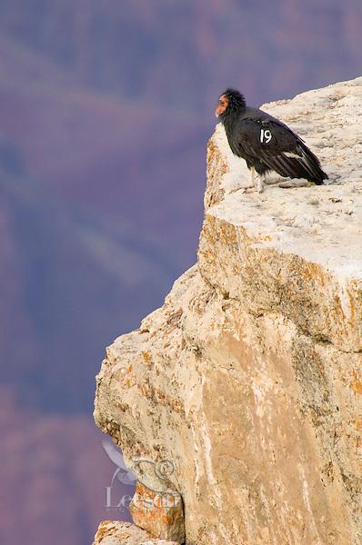 California Condor (Gymnogyps californianus) perched on rocky cliff.  Western U.S.