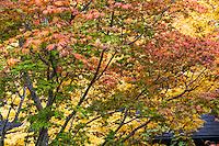 Full Moon Maple, Japanese Maple (Acer japonicum) 'Aconitifolium' in fall color, Autumn  Edelson Garden