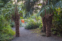 Trachycarpus fortunei, Chinese windmill palm trees flanking entry into backyard gravel garden room; Kuzma Garden