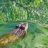 2017-07-19_Urban Wildlife_Beaver