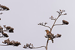 Rose Canyon, San Diego, California; a red-shouldered hawk resting on the flowering stalk of an agave plant in early morning light