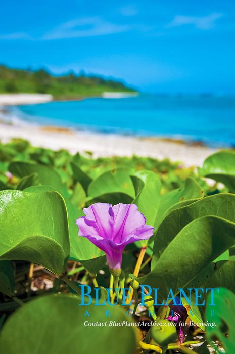 beach morning glory, Ipomoea pes-caprae, Pati Point Marine Preserve, Yigo, Guam, USA, Mariana Islands, Pacific Ocean
