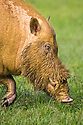 Bearded Pig (Sus barbatus), Danum Valley, Sabah, Borneo. June.