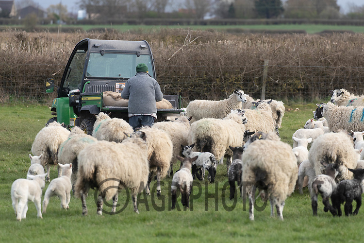 25-3--2021 Shepherdess creep feeding  ewes and lambs <br /> ©Tim Scrivener Photographer 07850 303986<br />      ....Covering Agriculture In The UK....