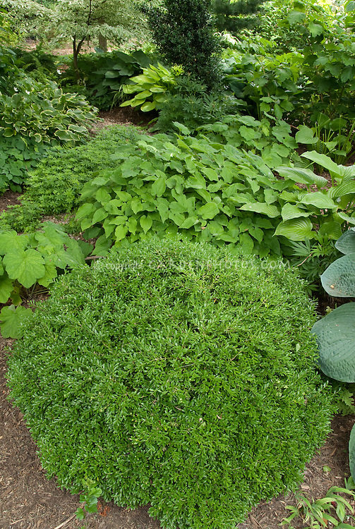 Shady garden perennials hostas, epimedium, Galium odoratum sweet woodruff, ferns, boxwood Buxus Green Velvet, Heuchera villosa