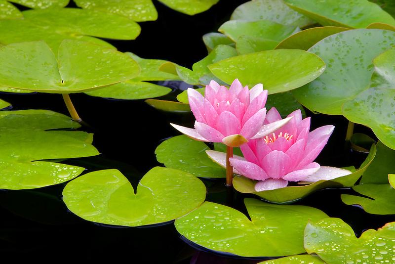 Masamiello water lily. Hughes Water Garden, Tualatin, Oregon