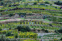 Charming hillside vineyard  near Monterosso al Mare.