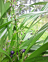 Flowering indigenous 'uki'uki grass, Big Island.