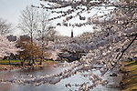 Cherry blossoms on the Charles River Esplanade, Boston, MA, USA