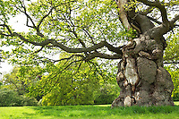 An ancient oak tree, adorned in fresh spring leaves, is an enduring symbol on the grounds of Blenheim Palace, Oxfordshire.