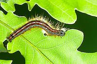 Ringelspinner, Raupe frisst an Eiche, Ringel-Spinner, Malacosoma neustria, Malacosoma neustrium, Phalaena neustria, Lackey moth, Lackey, caterpillar, Glucken, Lasiocampidae