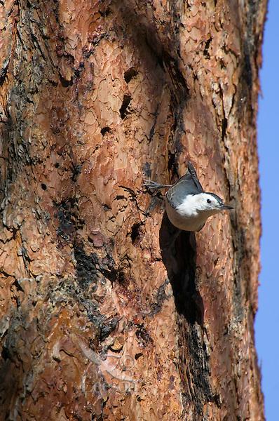 White-breasted Nuthatch (Sitta carolinesis) on side of ponderosa pine tree.  Western U.S.