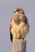 Adult light morph Swainson's Hawk (Buteo swainsoni) perched on a fence post. Ft. Pierre National Grassland, South Dakota. March.