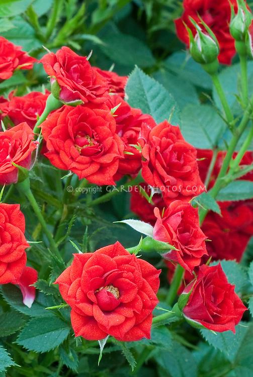 Rosa 'Crimson Treasure' red micro-miniature rose, aka RUImired in bloom, little flowers, dwarf growing
