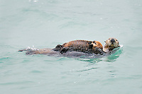 Alaskan or Northern Sea Otter (Enhydra lutris) mother carrying young pup.