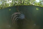 Box jellyfish in mangroves (Chironex sp.)