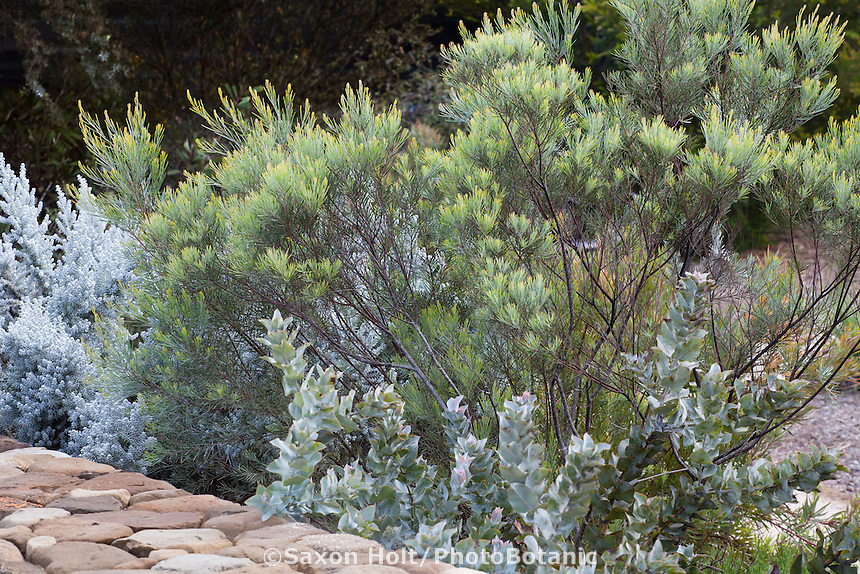 Acacia boormanii, Snowy River Wattle, silver lacey foliage shrub Australian Native Plant Nursery, Ventura, California. (Eucalyptus macrocarpa in front)