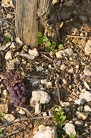 pinot gris green harvested grape bunch on ground sandy gravelly soil domaine gerard neumeyer alsace france